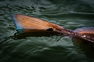 Tailing Redfish by Michael Ernst